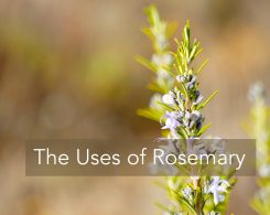 rosemary-1888852_1280-2