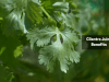 cilantro juice