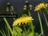 dandelion tea benefits