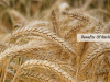 barley-benefits