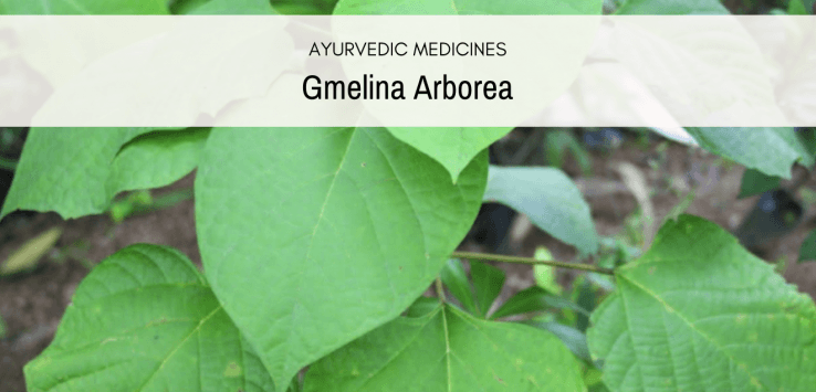 gmelina-plant