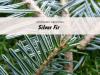 silver-fir