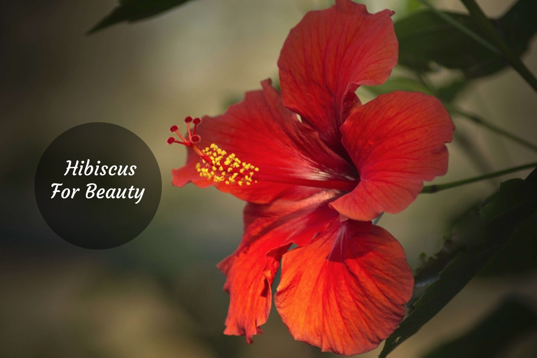 Hibiscus Flower Beauty Benefits Youd Wish You Knew Earlier