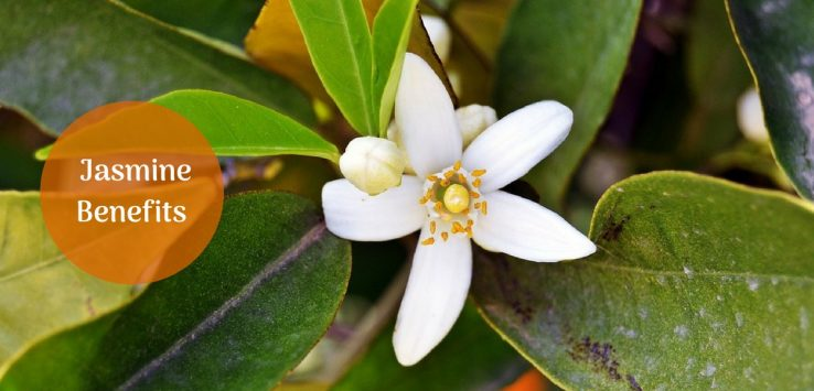 jasmine benefits