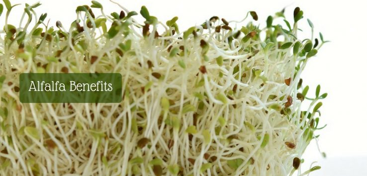 alfalfa plant benefits