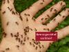 Treatment for Ant Bites_Ayurvedum