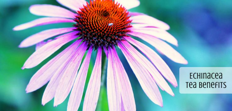 Echinacea Tea Benefits _ Ayurvedum