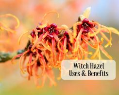 Witch hazel uses _ Ayurvedum