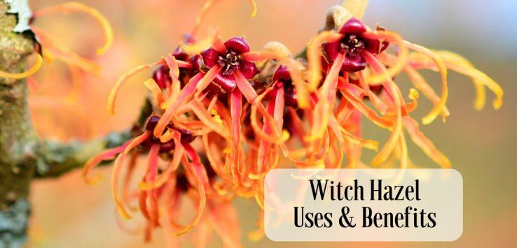 Witch hazel uses _ Ayurvedum