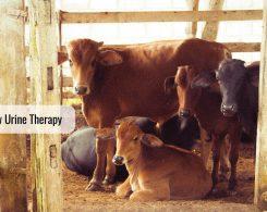Cow urine _ Ayurvedum