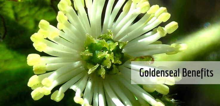 Goldenseal benefits _ Ayurvedum