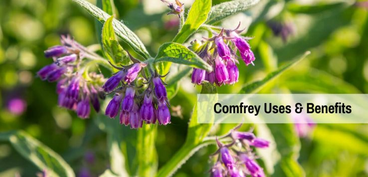 Comfrey uses _ Ayurvedum