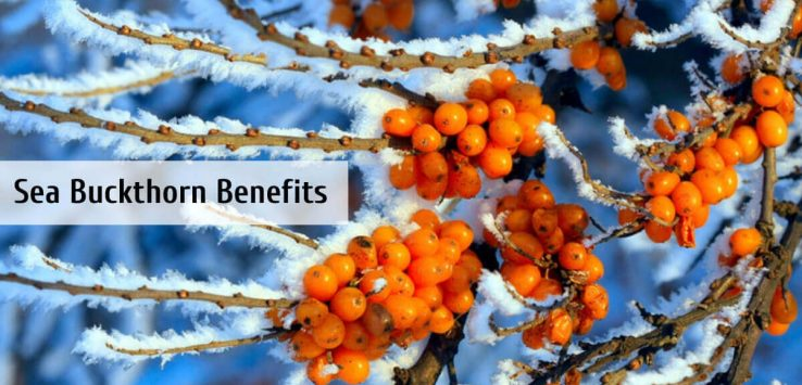 Sea Buckthorn _ Ayurvedum