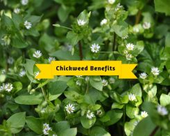 Chickweed benefits _ Ayurvedum