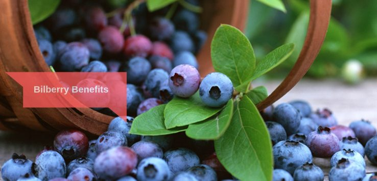 Bilberry Benefits _ Ayurvedum