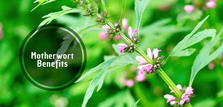 Motherwort Benefits _ Ayurvedum