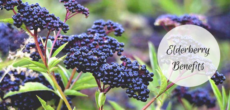 elderberry benefits _ Ayurvedum