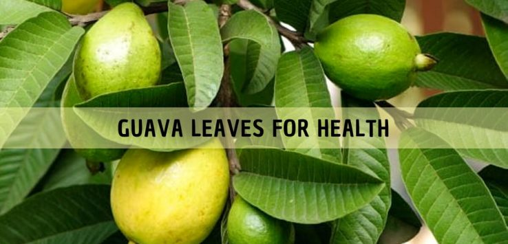 GUAVA LEAVES _ Ayurvedum