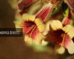 rehmannia root _ Ayurvedum