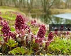 butterbur for migraines _ Ayurvedum