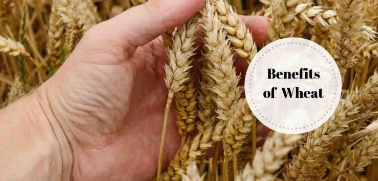 benefits of wheat