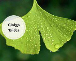 ginkgo biloba benefits